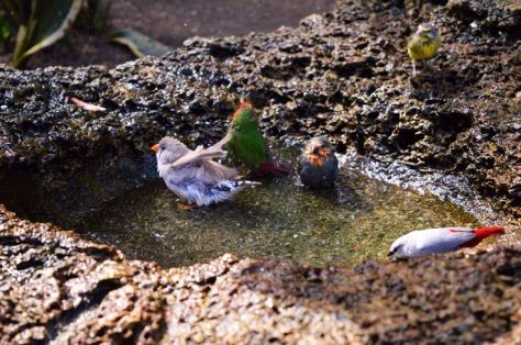 A Zebra Finch bathing as a Yellow-green Vireo, a Red-throated Parrot