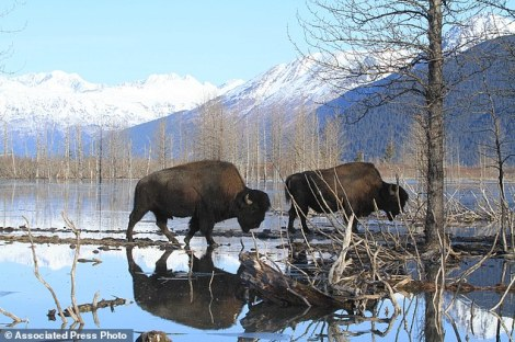 Two wood bison bulls weighing upward of 2,000 pounds move toward higher ground at the Alaska Wildlife Conservation Center on Sunday, March 22, 2015, in Portage, Alaska. The Alaska Department of Fish and Game on Sunday moved the first wood bison to a staging area in Shageluk, Alaska, for reintroduction in a few week to their native Alaska grazing grounds. Wood bison, which are larger than plains bison native found in Lower 48 states, disappeared from U.S. soil more than a century ago. (AP Photo/Dan Joling)
