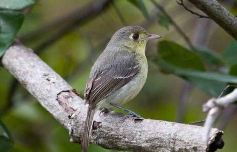 This Cuban vireo appeared this week in Key West in a corner of Fort Zachary Taylor State Park. MARK HEDDEN For KeysInfoNet