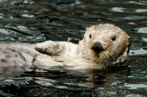 Crown Conservation - Photo 1 - Zen Photography -A very curious Sea Otter Enhydra-Lutris by John Healey